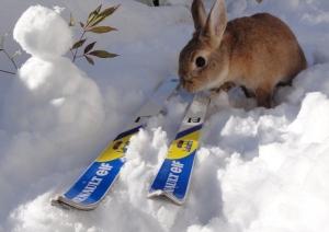 スキーをするウサギ