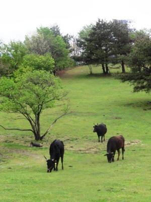 但馬牛の放牧風景