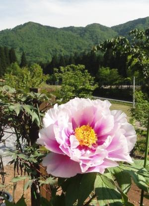 ハチ北の牡丹の花